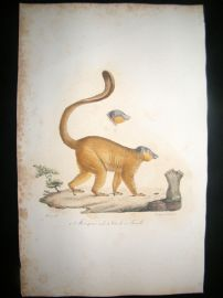 Saint Hilaire & Cuvier C1830 Folio Hand Colored Print. The Mongoose